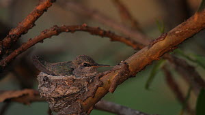 Anna's hummingbird (Calypte anna) chick in nest, exploring nest area with its tongue, Southern California, USA, March.  -  John Chan