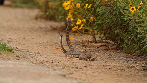 "Two male Southern Pacific rattlesnakes (Crotalus oreganus helleri) fighting during mating season. This behaviour is known as a ""combat dance"", and is used to determine dominance and the right to mate... - John Chan"