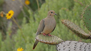 Mourning dove (Zenaida macroura) perched on a Coastal pricklypear (Opuntia littoralis), avoiding the spines as it takes flight, Southern California, USA, April. - John Chan