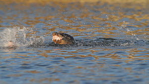 California sea lion (Zalophus californianus) feeding on a Striped bass (Morone saxatilis), Southern California, USA. - John Chan