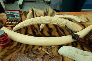 Confiscated elephant ivory products, tiger skin and seahorses, German Federal Nature Conservation Agency (BfN), with a display of other CITES protected wildlife products at Dusseldorf Airport, Germany... - Will Watson