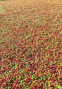 Coffee (Coffea arabica) berries at various stages of drying in the sun. Cemented yards ensure uniform and quick drying. Usually drying takes about 10-12 days. Coorg, Western Ghats, India - Yashpal Rathore