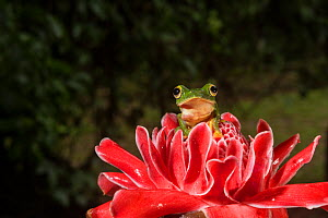 Malabar gliding frog (Rhacophorus malabaricus) in ginger flower, Endemic to Western Ghats. Controlled conditions  -  Yashpal Rathore