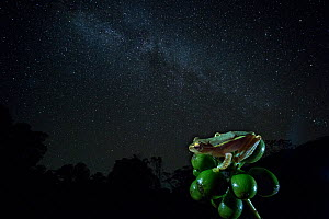Small tree frog (Rhacophorus lateralis) at night under starry sky, Western Ghats. India. Endangered and endemic to Western Ghats.  -  Yashpal Rathore