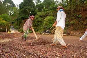 Workers turning coffee beans in process called raking, to ensure uniformity of beans' exposure to sun. Cement drying yards ensure uniform and quick drying. Usually drying takes about 10-12 days. C...  -  Yashpal Rathore
