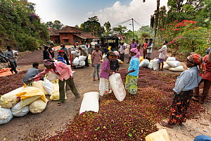 Workers with Coffee harvest (Coffea arabica) Coorg, Western Ghats, India - Yashpal Rathore