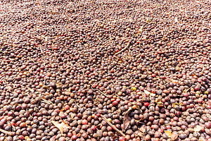 Coffee berries (Coffea arabica) which have been spread out to dry and have turned dark brown Coorg, Western Ghats, India - Yashpal Rathore