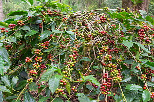 Coffee plant (Coffea arabica) with ripe coffee berries, ready for reaping. Coorg, Western Ghats, India - Yashpal Rathore