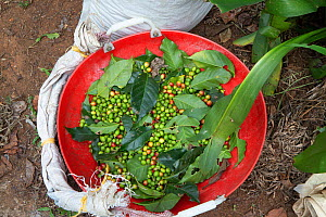 Coffee berries (Coffea arabica) recently picked. Coorg, Western Ghats, India - Yashpal Rathore