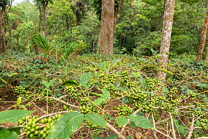 Coffee plants (Coffea arabica) with ripe coffee berries, ready for harvest. Coorg, Western Ghats, India - Yashpal Rathore