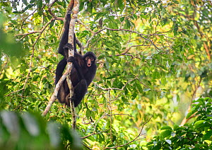 Peruvian spider monkey (Ateles chamek) in the Peruvian Amazon. Madre de Dios, Peru. March. Cropped  -  Oscar Dewhurst