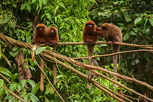 Dusky Titi monkey (Callicebus moloch) family troop sitting on a fallen tree in the Peruvian Amazon, with one grooming another. Madre de Dios, Peru. March  -  Oscar Dewhurst