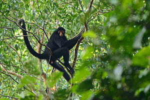 Peruvian spider monkey (Ateles chamek) in the Peruvian Amazon. Madre de Dios, Peru. March  -  Oscar Dewhurst