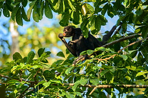 Peruvian spider monkey (Ateles chamek) feeding in the Peruvian Amazon. Madre de Dios, Peru. March  -  Oscar Dewhurst