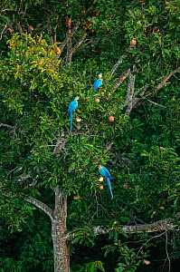 Blue-and-Yellow Macaws (Ara ararauna) feeding in tree, Peruvian Amazon. Madre de Dios, Peru. April - Oscar Dewhurst