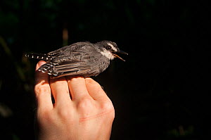 White-throated antbird (Gymnopithys salvini) held in hand for ringing by researcher at Los Amigos Biological Research Station, Madre de Dios, Peru. April. Cropped - Oscar Dewhurst