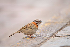 Rufous-collared sparrow (Zonotrichia capensis) on stone pavement. Cusco, Peru. February  -  Oscar Dewhurst