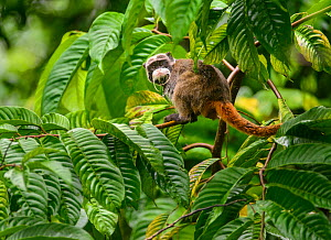 Emperor Tamarin (Saguinus imperator) in a rainforest clearing. The animal is one of many being studied, hence the metal band hanging from its neck. Madre de Dios, Peru. March. Cropped  -  Oscar Dewhurst