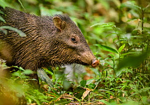 Collared peccary (Pecari tajacu) standing on the rainforest floor. Madre de Dios, Peru. March - Oscar Dewhurst