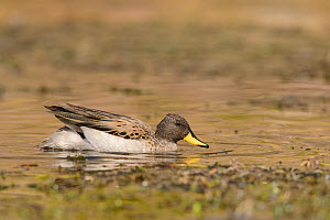 Yellow-billed teal (Anas flavirostris) swimming in Andean lake. Arequipa, Peru. September  -  Oscar Dewhurst