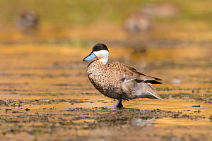 Puna teal (Anas puna) standing in shallow water of an Andean lake. Arequipa, Peru. September. Cropped - Oscar Dewhurst