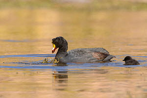 Giant coot (Fulica gigantea) and young chick in an Andean lake. Arequipa, Peru. September - Oscar Dewhurst