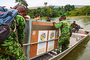 Loading Western lowland gorilla (Gorilla gorilla gorilla) cage onto boat for transfer over Mpassa river to habituation island. Reintroduction from Beauval Zoo through Gorilla Protection Project. Batek... - Eric Baccega