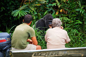 Wildlife biologist from The Aspinall Foundation and director of Beauval Zoo observing Western lowland gorilla (Gorilla gorilla gorilla) male aged 37 years. Rescued as an orphan and reintroduced in 201...  -  Eric Baccega