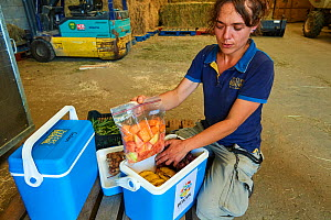 Keeper preparing food for journey of Western lowland gorillas (Gorilla gorilla gorilla) to Bateke Plateau National Park, Gabon. Reintroduction through Gorilla Protection Project. Beauval Zoo, Centre-V...  -  Eric Baccega