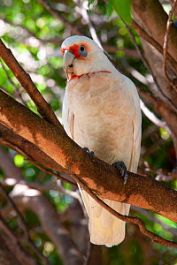 Long-billed corella (Cacatua tenuirostris) perched on branch. Ulladulla, New South Wales, Australia.  -  Steven David Miller