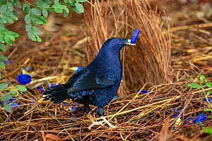 Satin bowerbird (Ptilonorhynchus violaceus) male with blue bottle top in beak, tending to bower to attract female. Ulladulla, New South Wales, Australia. July.  -  Steven David Miller