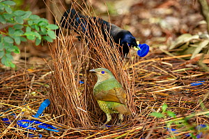 Satin bowerbird (Ptilonorhynchus violaceus) female inspecting bower and blue objects collected by male from nearby campsites. Ulladulla, New South Wales, Australia. July.  -  Steven David Miller