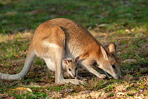 Agile wallaby (Macropus agilis) female with joey in pouch, foraging in campground. Nitmiluk National Park, Northern Territory, Australia.  -  Steven David Miller