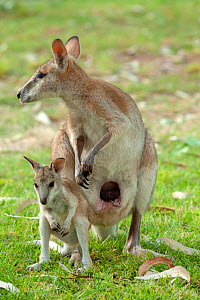 Agile wallaby (Macropus agilis) female and joey standing side by side. Pouch visible on female. Nitmiluk National Park, Northern Territory, Australia.  -  Steven David Miller