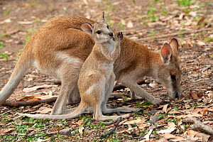 Agile wallaby (Macropus agilis) female and joey foraging in campground. Nitmiluk National Park, Northern Territory, Australia.  -  Steven David Miller