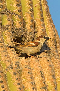 House sparrow (Passer domesticus) male at nest in Saguaro (Carnegiea gigantea) cactus cavity. Non-native bird species that competes with native species for nesting cavities in cacti. Sonoran desert, A...  -  John Cancalosi