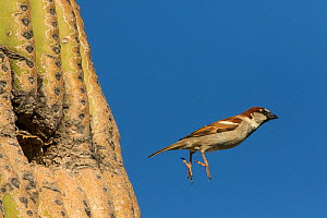 House sparrow (Passer domesticus) male flying from nest in Saguaro (Carnegiea gigantea) cactus. Non-native bird species that competes with native species for nesting cavities in cacti. Sonoran desert,...  -  John Cancalosi