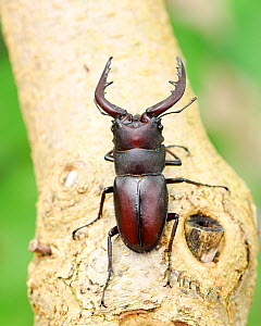 Stag beetle (Prosopocoilus inclinatus) Kanagawa, Japan. - Aflo