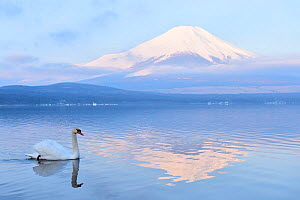Mount Fuji from Yamanashi Prefecture, with Mute swan (Cygnus olor) Lake Yamanaka, Kanto, Japan - Aflo