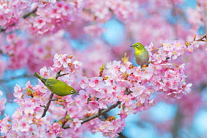 Japanese white eye (Zosterops japonicus) perched in cherry blossom, Japan.  -  Aflo