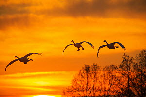 Bewick's swans (Cygnus bewickii) group of three in flight at sunset, Japan. - Aflo