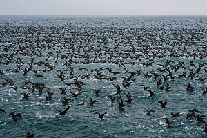 Flock of Short-tailed shearwater (Puffinus tenuirostris) taking flight, Shiretoko Peninsula, Hokkaido, Japan - Aflo