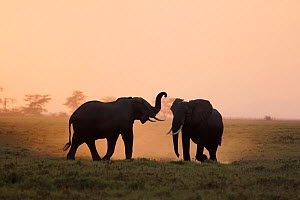 African elephant (Loxodonta africana) two silhouetted walking and kicking up dust. Amboseli National, Park, Kenya. - Aflo