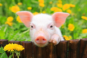 Piglet peering over fence with dandelions. - Aflo