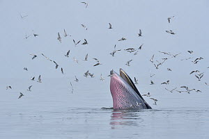 Bryde's whale (Balaenoptera edeni) surfacing with flock of terns. Asia. - Aflo