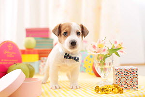 Jack Russell terrier puppy indoors with bow tie. - Aflo