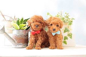 Toy poodle puppies with bow ties. - Aflo