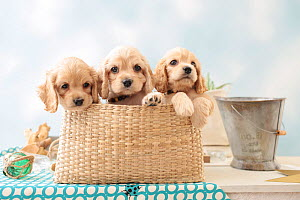 American cocker spaniel, three puppies in a basket. - Aflo