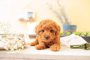 Toy poodle puppy wearing pearls. - Aflo