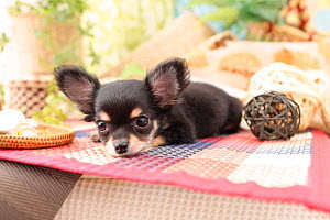 Chihuahua puppy resting indoors.  -  Aflo